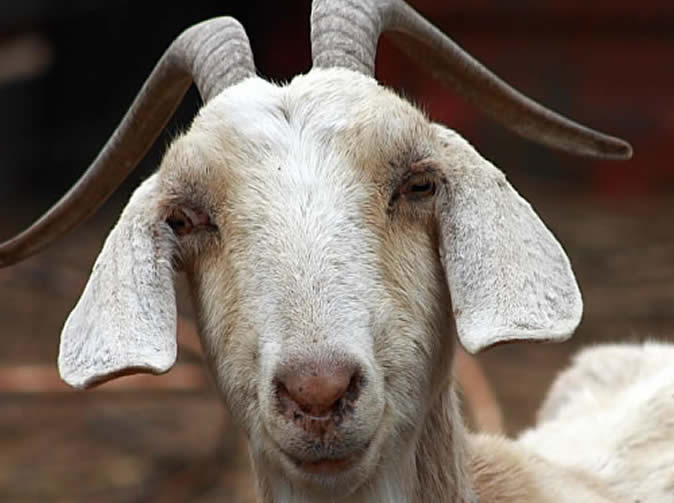 MAN FOUND GOATS MATING, CHASED MALE AWAY, RAPED FEMALE | MILE2HERALD ...
